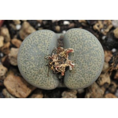 Lithops terricolor (syn. localis)